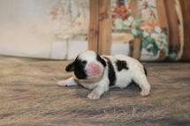 Nick Male CKC Shihpoo $1750 Ready 12/24 AVAILABLE 11.3 OZ 4 DAYS OLD