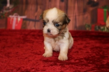 Balsam Male CKC Shorkie $1750 Ready 12/18 AVAILABLE 1LB .5OZ 4W OLD