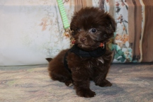 Stitch Male CKC Malshipoo $2000 Ready 11/5 AVAILABLE 1.6LB 8W OLD
