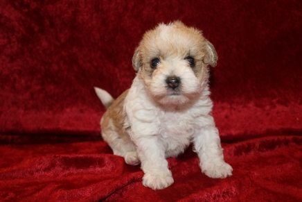 Bach Male CKC Schnoodle $1750 Ready 1/18 HAS DEPOSIT 1 LB 1 OZ 3 WEEKS Old