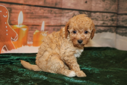 Anna Female Cavapoo $2000 Ready 12/23 HAS DEPOSIT MY NEW HOME ST JOHNS, FL 2 Lbs 3.5 oz 5W2D Old