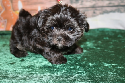 Annabelle Female CKC Malshipoo $1750 Ready 12/6 SOLD MY NEW HOME SARASOTA, FL 2.5lb 8wk old