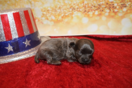 Baby Boo Male CKC Malshipoo $2000 Ready 2/12 AVAILABLE 8oz 1W5D Old