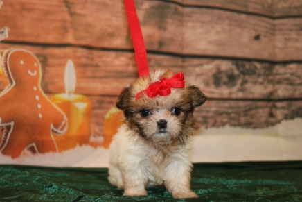 Balsam Male CKC Shorkie $1750 Ready 12/18 SOLD MY NEW HOME JACKSONVILLE, FL 1LB 1oz 6w1d old