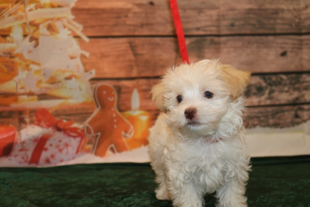 Bambino Male CKC Havanese $1750 Ready 11/22 SOLD MY NEW HOME JACKSONVILLE, FL 2.11lb 10w old