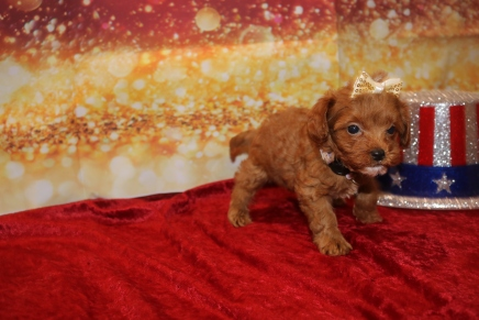 Bubbles Female Cavapoo $2000 Ready 1/4 HAS DEPOSIT MY NEW HOME PONTE VEDRA, FL 1LB 6OZ 6W2D OLD