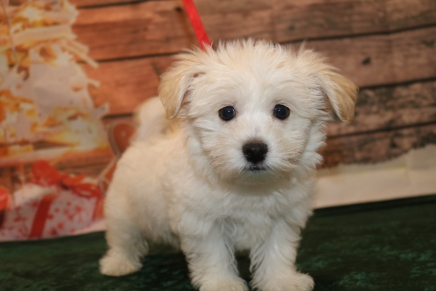 Casanova Male CKC Havanese $1750 Ready 11/22 AVAILABLE 3.12lb 10w old