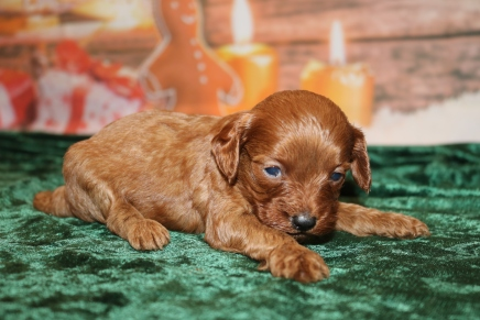 Chandon Female Cavapoo $2000 Ready 1/4 HAS DEPOSIT MY NEW HOME 1LB 3W4D OLD