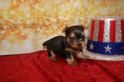 Charlie Male T-Cup Yorkie $2000 Ready 1/24 HAS DEPOSIT MY NEW HOME JACKSONVILLE, FL 8.5 OZ 4W1D Old