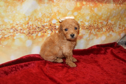 Cupcake Female CKC Mini Labradoodle $2000 Ready 1/25 HAS DEPOSIT MY NEW HOME JACKSONVILLE, FL 13oz 3w6d old