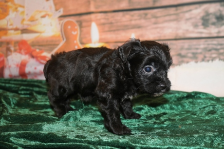 Folly Male CKC Havapoo $1750 Ready 12/23 HAS DEPOSIT MY NEW HOME PONTE VEDRA, FL 1lb 6.5oz 3w1d old