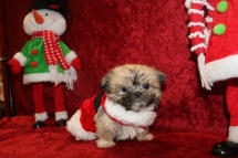 Fraser Male CKC T-cup Shorkie $2000 BUT WAIT SPECIAL $1750 Ready 12/18 SOLD MY NEW HOME LAVEEN, AZ! 1lb 3 OZ 8W1D Old