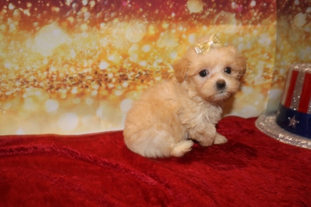 Gia (GG) Female CKC Malshipoo $1750 Ready 1/3 HAS DEPOSIT MY NEW HOME PARRISH, FL 1LB 9OZ 7W OLD