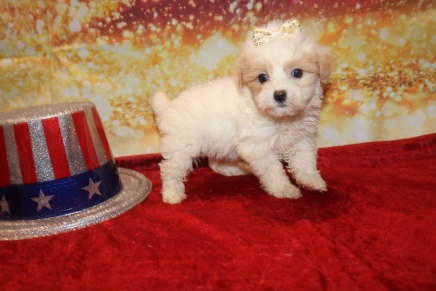 Gigi (Hazel) Female CKC Malshipoo $1750 Ready 1/3 HAS DEPOSIT MY NEW HOME ORLANDO, FL 1LB 10OZ 7W OLD