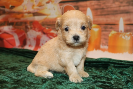 Guinness Male CKC Malshipoo $1750 Ready 1/3 AVAILABLE 1.4lb 4wk old