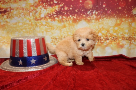 Guinness Male CKC Malshipoo $1750 Ready 1/3 HAS DEPOSIT MY NEW HOME 1lb 1oz