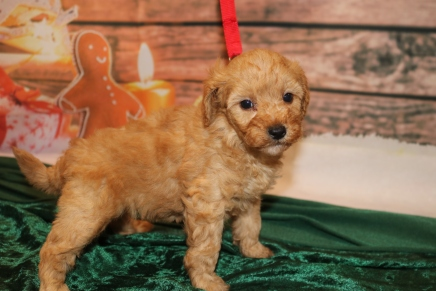 Jingles Male CKC Mini Labradoodle $2000 Ready 12/23 AVAILABLE 2lb 5w1d old