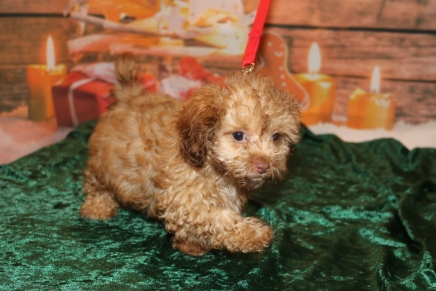 Jumba Male CKC Malshipoo $2000 DISCOUNTED NOW $1500 Ready 11/5 SOLD MY NEW HOME KISSIMMEE, FL HE HAS ALL HIS PUPPY VACCINES 2 lbs 13 OZ12w2d old