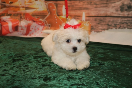 Linguine Female CKC Havashu $1750 Ready 11/19 SOLD MY NEW HOME ST AUGUSTINE, FL 3.4lb 11wk old