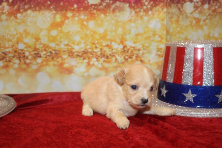 Molly Female CKC Havapoo $2000 Ready 1/28 SOLD MY NEW HOME CLEARWATER, FL 13oz 3w5d old