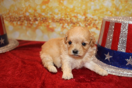 Milo Male CKC Havapoo $2000 Ready 1/28 HAS DEPOSIT MY NEW HOME JACKSONVILLE, FL 13.5oz 3w5d old