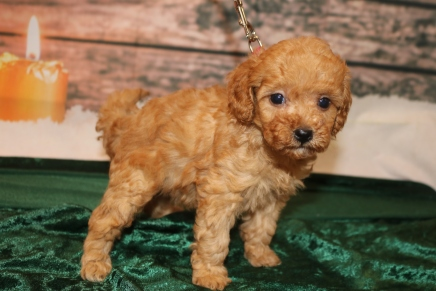 Mistletoe Female CKC Mini Labradoodle $2000 Ready 12/23 HAS DEPOSIT MY NEW HOME JACKSONVILLE, FL 1.9lb 5w1d old