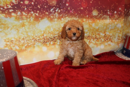 Moet Male Cavapoo $2000 Ready 1/4 SOLD 2LB 5OZ 6W2D OLD