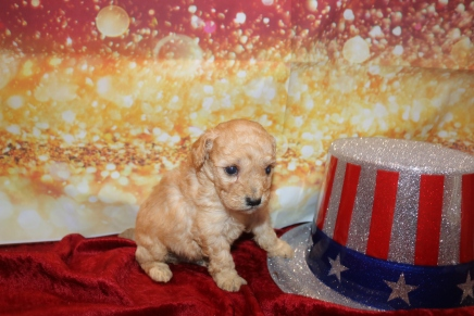 Mousse Male CKC Mini Labradoodle $2000 Ready 1/25 HAS DEPOSIT MY NEW HOME FLEMING ISLAND, FL 1lb 1oz 3w6d old