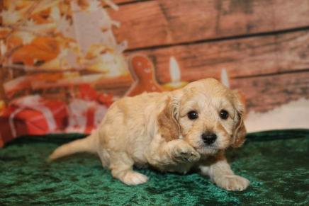 Olaf (Buddy) Male Cavapoo $2000 Ready 12/23 HAS DEPOSIT MY NEW HOME ST JOHNS, FL 3 Lbs 4 oz 5W2D Old