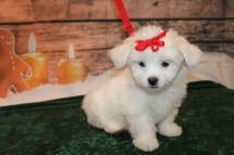 Pasta Female CKC Havashu $1750 Ready 11/19 SOLD! My new home is in Jacksonville, Fl! 4lbs 11wk old