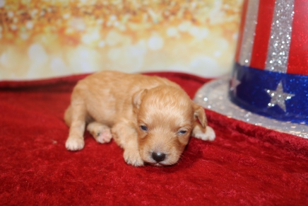 Peterbrooke Male CKC Morkipoo $2000 Ready 2/8 AVAILABLE 8.5 oz 2 Weeks old