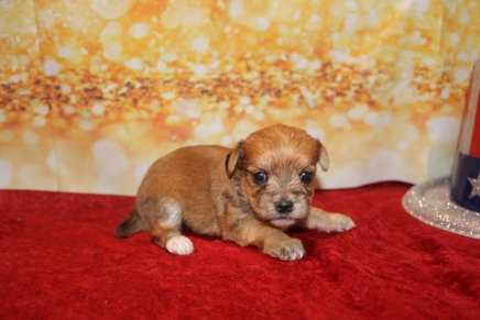 Prince Eric Male CKC Morkie $1750 Ready 1/28 HAS DEPOSIT MY NEW HOME JUPITER, FL 14OZ 3W2D OLD