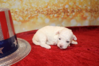 Sugar Female Havapoo $1750 Ready 2/8 HAS DEPOSIT MY NEW HOME JACKSONVILLE, FL 12.5 oz 2 Weeks old