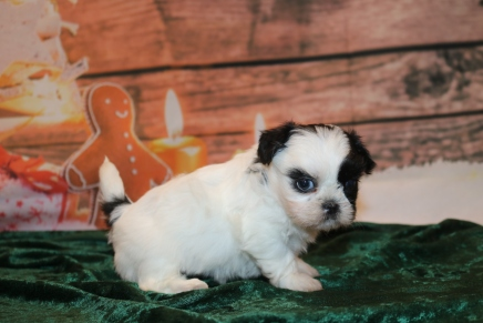 Tinsel Female CKC Shihpoo $2000 Ready 12/24 SOLD MY NEW HOME ORLANDO, FL 1 Lb 8 oz 5W2D OLD