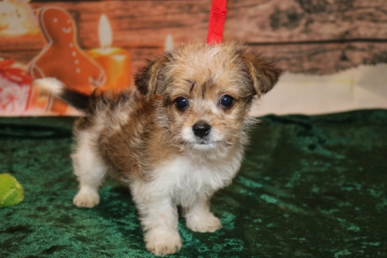 Tyrion Male CKC Shorkipoo $1750 Ready 12/3 SOLD MY NEW HOME JACKSONVILLE, FL 1 lb 10OZ 8W3D OLD