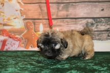 Annie Female CKC Malshipoo $1750 Ready 12/3 HAS DEPOSIT MY NEW HOME ST AUGUSTINE, FL 2.4lb 7w6d old