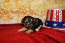 Princess Ariel Female CKC Morkie $1750 Ready 1/28 HAS DEPOSIT MY NEW HOME WINTER SPRINGS, FL 1LB 3W2D OLD