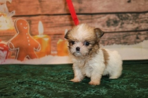 Balsam Male CKC Shorkie $1750 Ready 12/18 HAS DEPOSIT MY NEW HOME JACKSONVILLE, FL 1LB 1oz 6w1d old