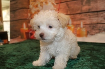 Bambino Male CKC Havanese $1750 Ready 11/22 AVAILABLE 2.11lb 10w old