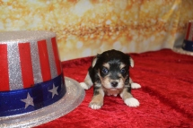 Beast Male CKC Morkie $1750 Ready 1/28 HAS DEPOSIT MY NEW HOME IS IN Neptune Beach, FL! 1LB 2OZ 3W2D OLD
