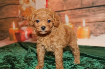 Bell Female CKC Mini Labradoodle $2000 Ready 12/23 HAS DEPOSIT MY NEW HOME INTERLACHEN, FL 1.10lb 5w1d old