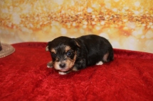 Princess Belle Female CKC Morkie $1750 Ready 1/28 HAS DEPOSIT MY NEW HOME JACKSONVILLE, FL 1LB 2OZ 3W2D OLD