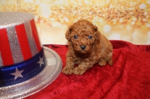 Brownie Female CKC Mini Labradoodle $2000 Ready 1/25 HAS DEPOSIT MY NEW HOME NAPLES, FL 14oz 3w6d old