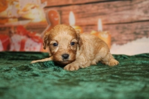 Brut Male Cavapoo $2000 Ready 1/4 AVAILABLE 1LB 3W4D OLD