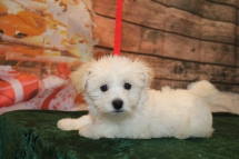Casanova Male CKC Havanese $1750 Ready 11/22 SOLD MY NEW HOME ST AUGUSTINE, FL3.12lb 10w old