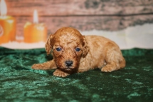 Champagne Female Cavapoo $2000 Ready 1/4 AVAILABLE 15.5OZ 3W4D OLD