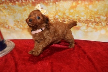 Chandon Female Cavapoo $2000 Ready 1/4 SOLD MY NEW HOME PONTE VEDRA, FL 1LB 12OZ 6W2D OLD