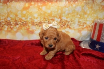 Cinnamon Roll Female CKC Mini Labradoodle $2000 Ready 1/25 HAS DEPOSIT MY NEW HOME JACKSONVILLE, FL 1lb 3w6d old