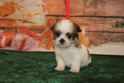 Douglas Male CKC Shorkie $1750 Ready 12/18 SOLD MY NEW HOME JACKSONVILLE, FL 1.8lb 6w1d old