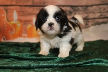 Elf Male CKC Shihpoo $1750 Ready 12/24 SOLD MY NEW HOME PONTE VEDRA BEACH, FL 2 lbs 4 oz 5W2D OLD